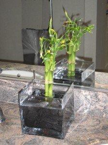 Lucky Bamboo Growing