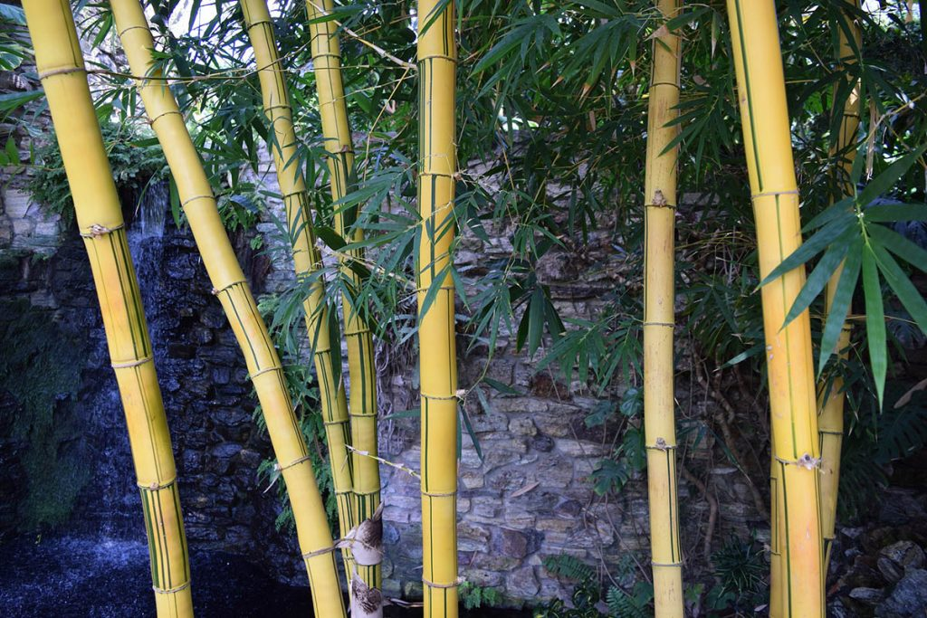 Healthy bamboo plants with yellow canes fed with the right bamboo fertilizer