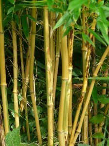 Bamboo Plants in Melbourne