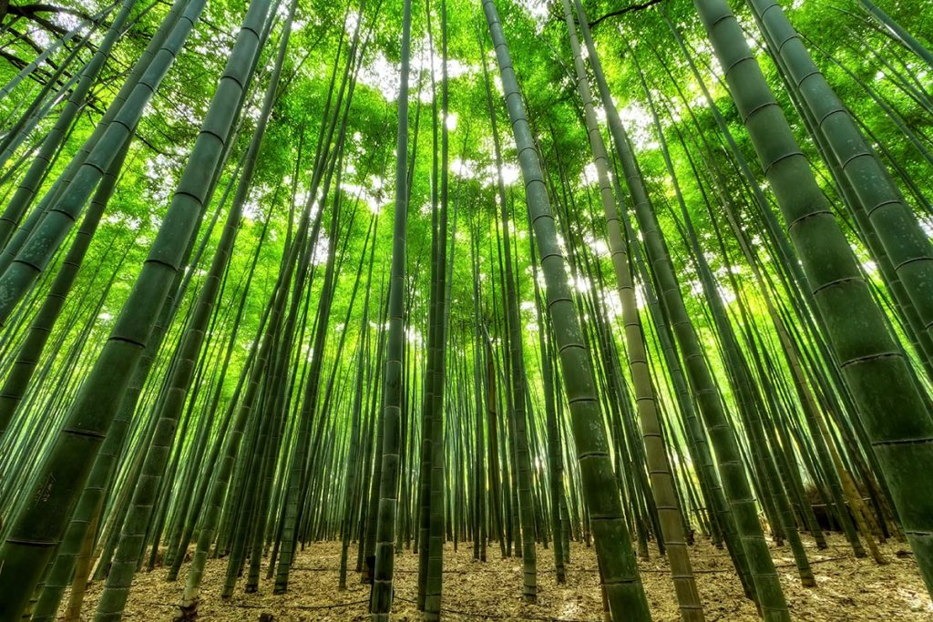Bamboo Forest with Phyllostachys Nigra Henon (Giant Gray Bamboo)