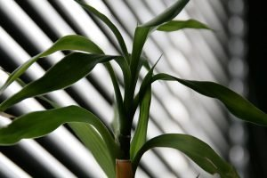 Leaves of a lucky bamboo plant indoors