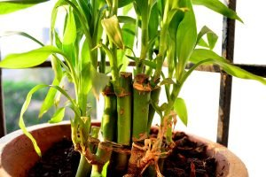 Lucky Bamboo Plant Turning Yellow?