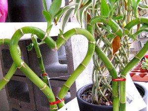 Bamboo like plant