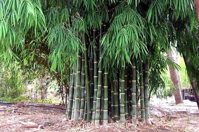 Bambusa Nana plants in a garden