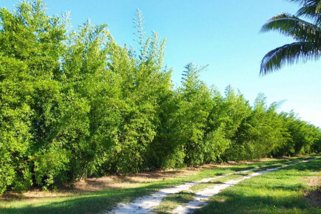 Green Seabreeze Bamboo plants in a row for privacy screening