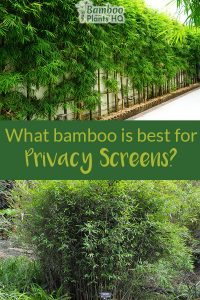 Bamboo as a hedge along the fence and a bushy bamboo plant with the text:What bamboo is best for privacy screens