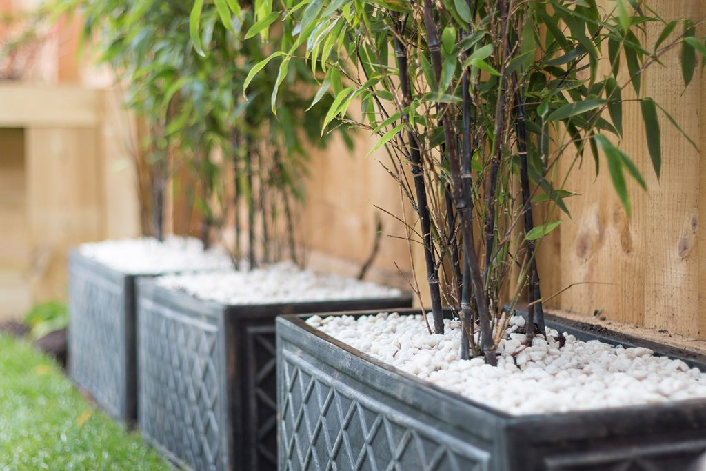 Bamboo plants growing in planter boxes