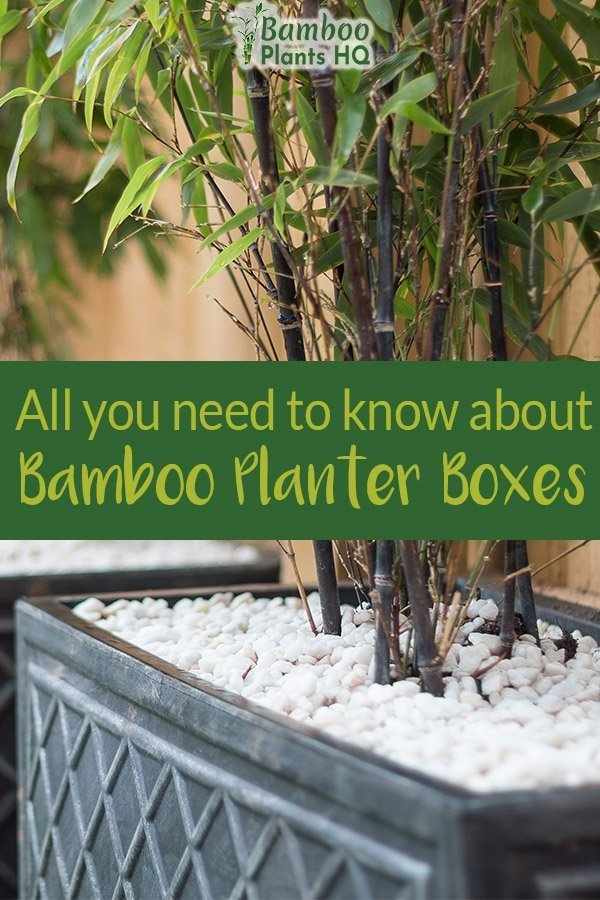 Bamboo in a black planter box with white pebbles on top