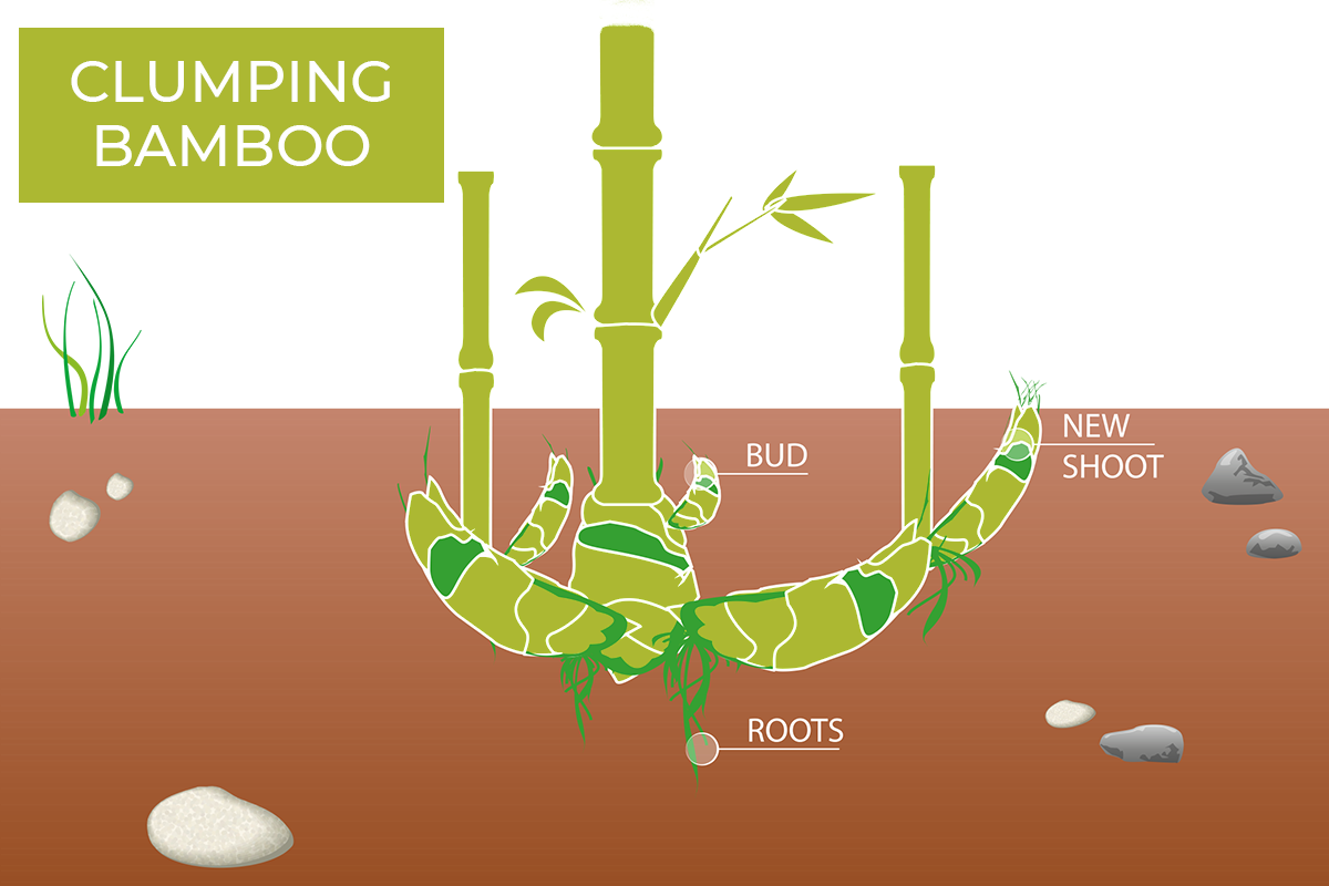 Graphic showing the root system of clumping bamboo