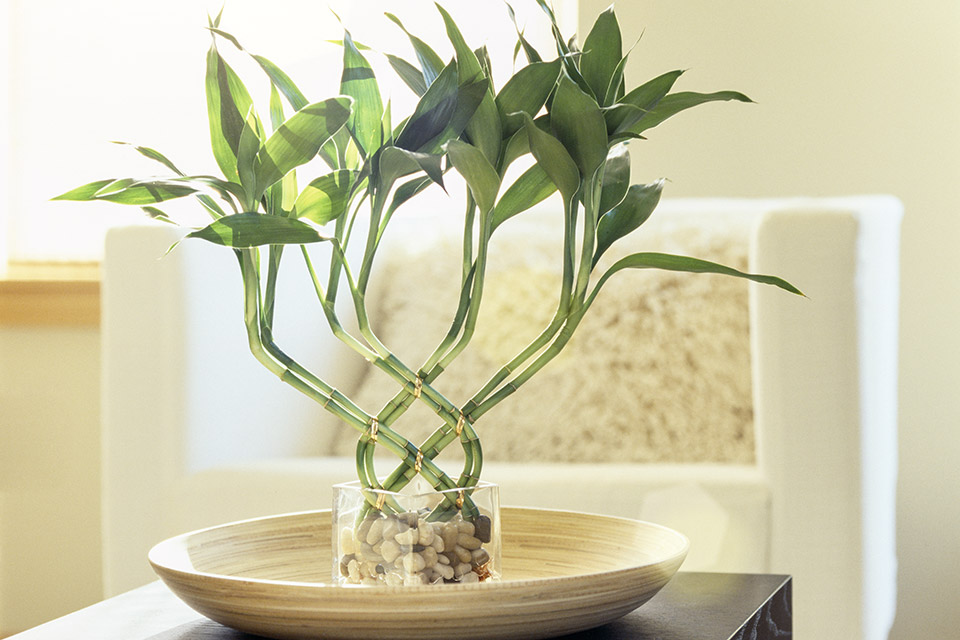 Eight Lucky Bamboo stalks beautifully shaped in a woven pattern