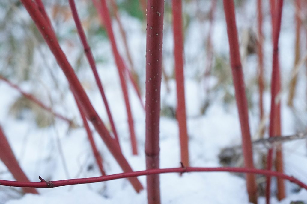 Red bamboo stems