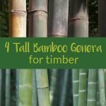 Two timber bamboo species with the text: 4 tall bamboo genera for timber