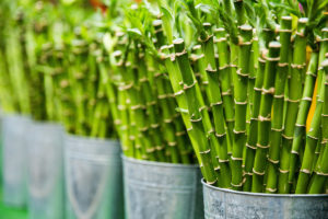 Lucky bamboo for sale by stalks in silver pots