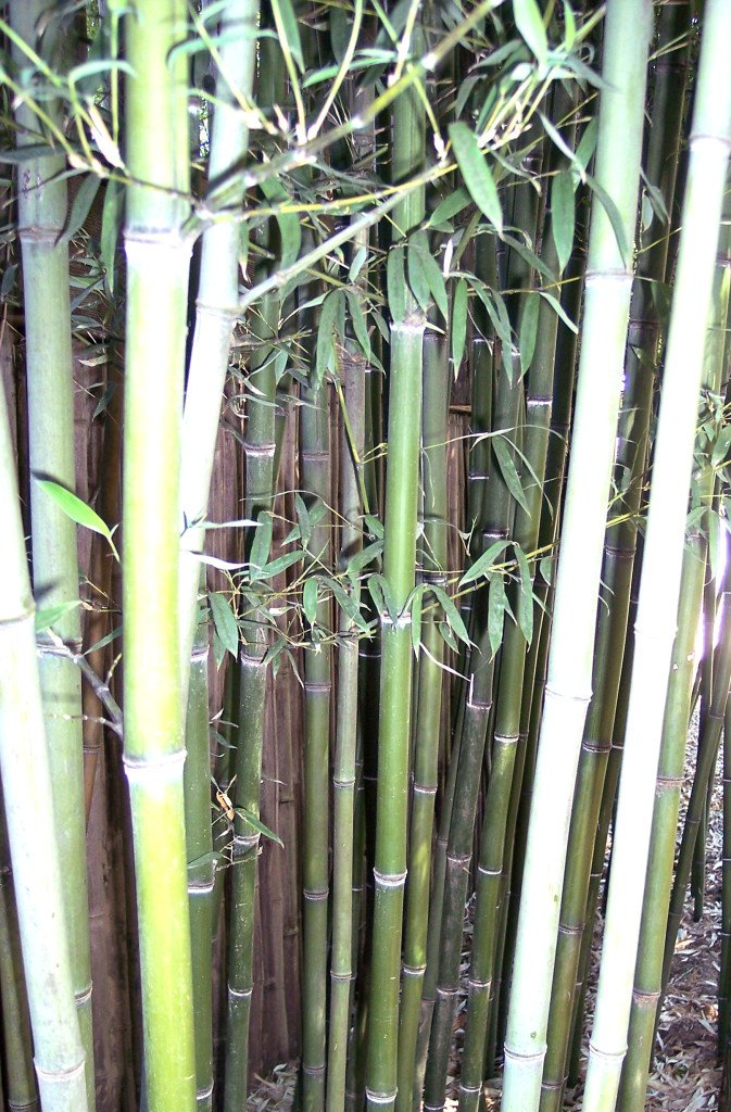 Types of Bamboo Plant