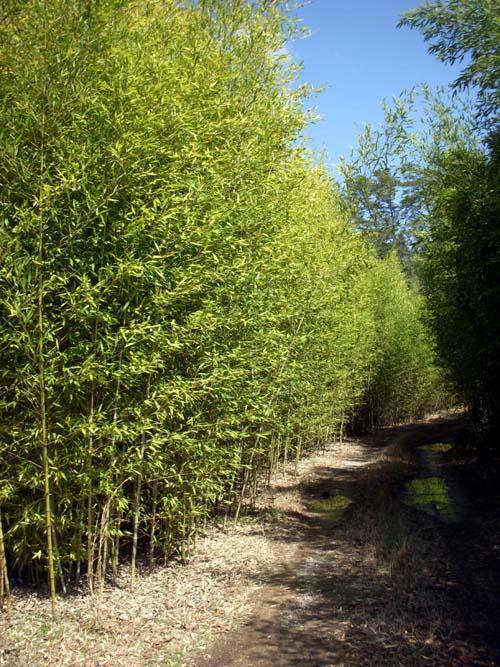Golden Bamboo Quot Phyllostachys Aurea Quot Bamboo Plants Hq