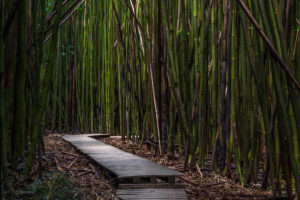 Bamboo grove with a boardwalk