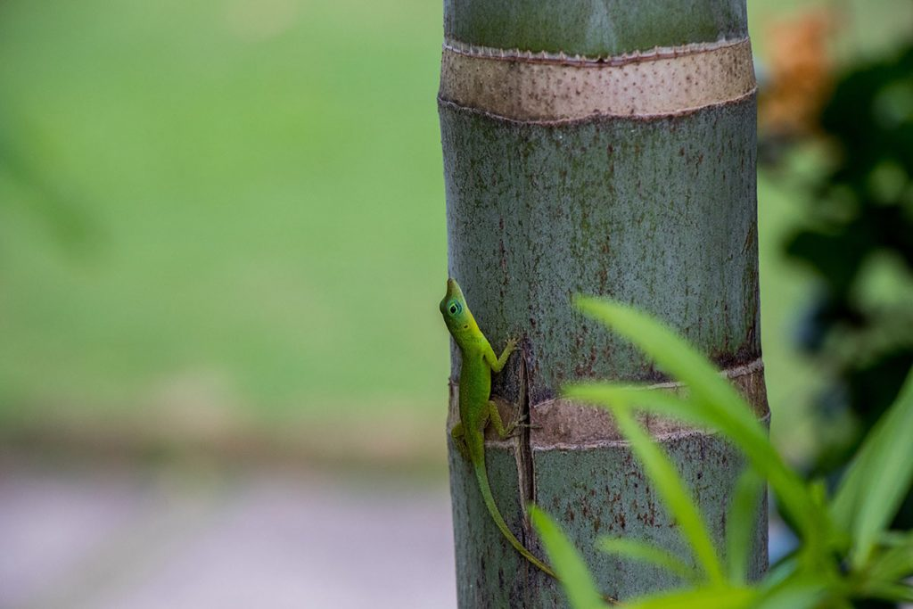 Little green gecko on a bamboo stem