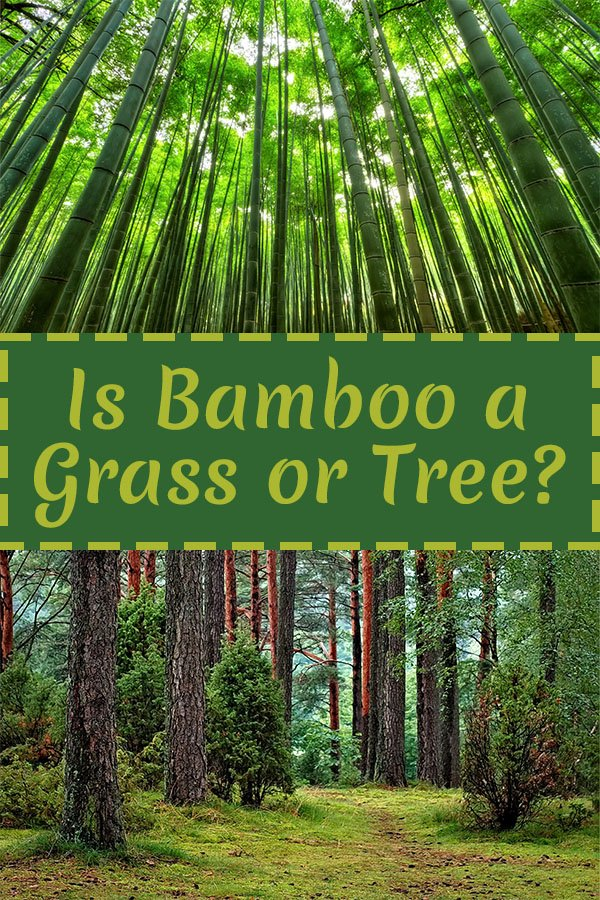 Bamboo forest at the top and tree forest at the bottom with the text: Is bamboo a grass or tree?
