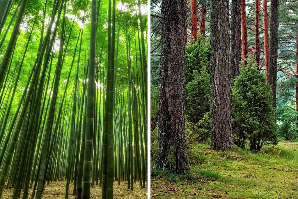 Bamboo forest next to tree forest - Is Bamboo a grass or a tree?