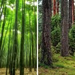 Is bamboo a grass or a tree?