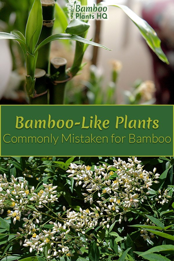 Lucky Bamboo and Heavenly Bamboo with the text: Bamboo-Like Plants Commonly Mistaken for Bamboo