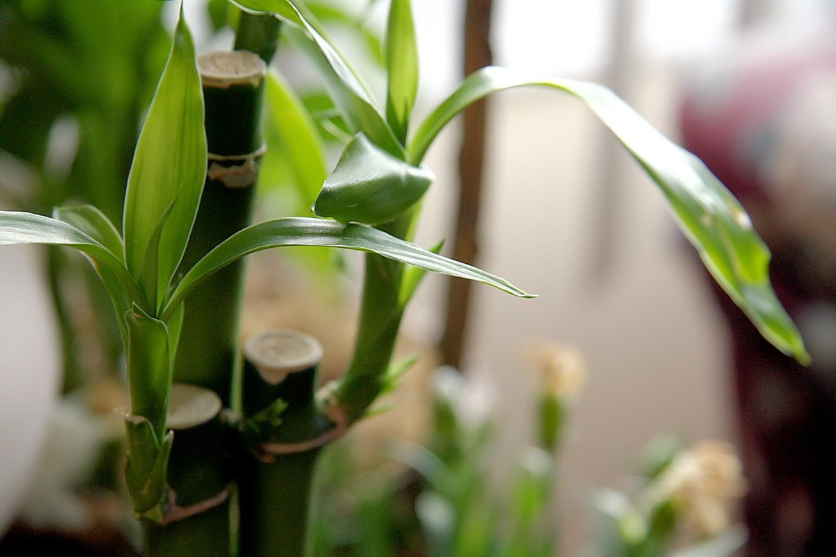Close-up shot of Lucky Bamboo Plant with 3 stems