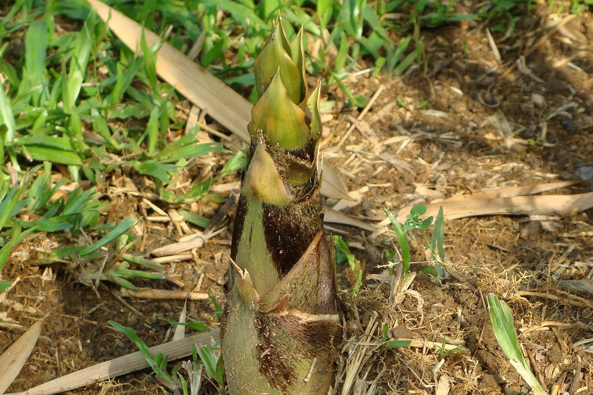 Bamboo shoot growing out of the ground