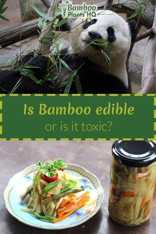 Can bamboo be toxic to pets or humans? How can bamboo be eaten if it is toxic? We give you the answers! #bamboo #food #healthyfood #healthyeating #petcare