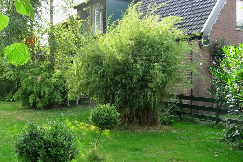 Bushy Fragesia nitida in a garden landscape behind a house