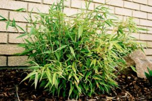 Young small Fargesia dracocephala 'Rufa' bamboo plant in a garden with white brick wall in the back