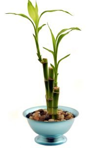Three stalks of lucky bamboo in a pot