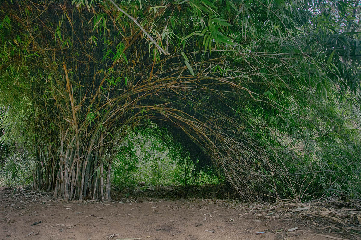 Non-Invasive Bamboo - What Bamboo Does Not Spread?