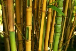 Yellow irregular bamboo culms with green stripes - Phyllostachys Aurea Koi