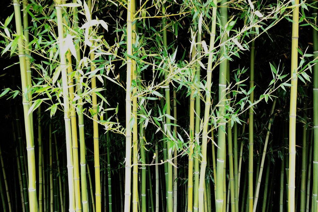 Phyllostachys Nuda - Bamboo stems with black ring and white powdery ring below