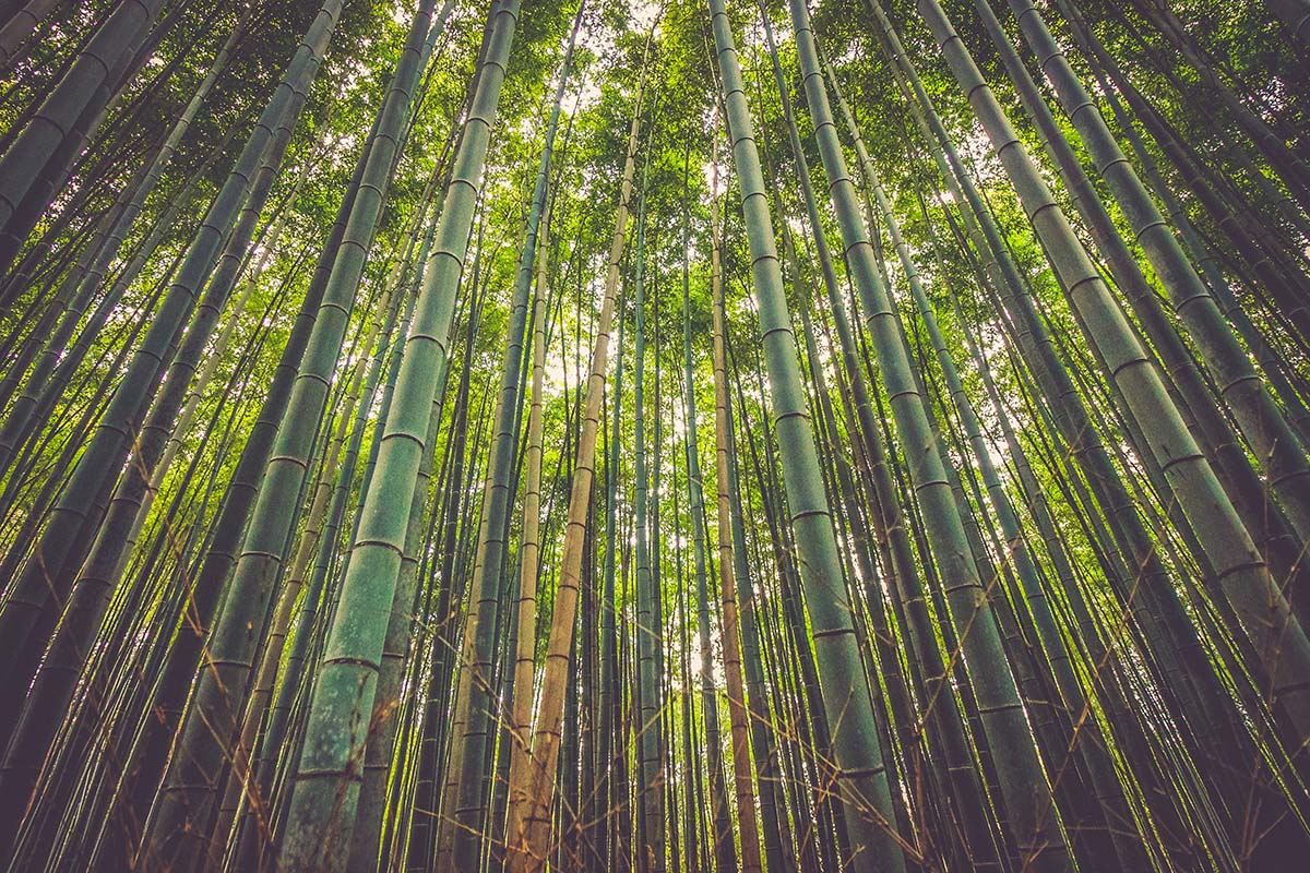 Tall straight bamboo canes in a bamboo forest