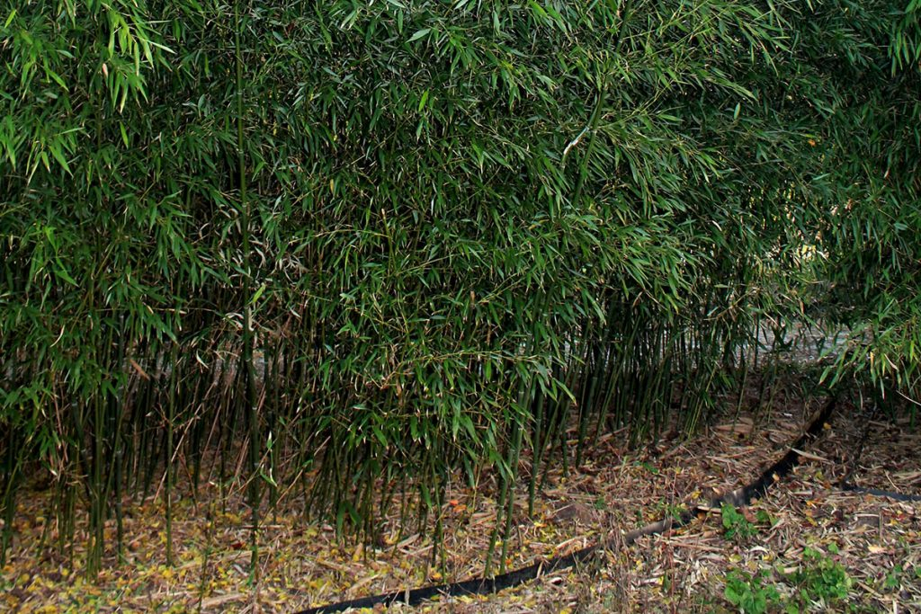 Phyllostachys Bissetii Bamboo in a garden