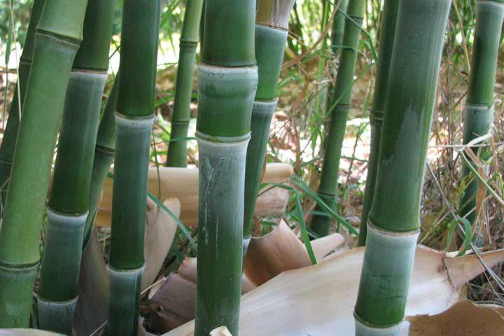Phyllostachys heteroclada - Green bamboo stems with knobby nodes