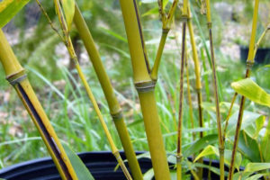 Slim young stems of the Phyllostachys nigra 'Megurochiku' bamboo that has a black stripe on a sulcus