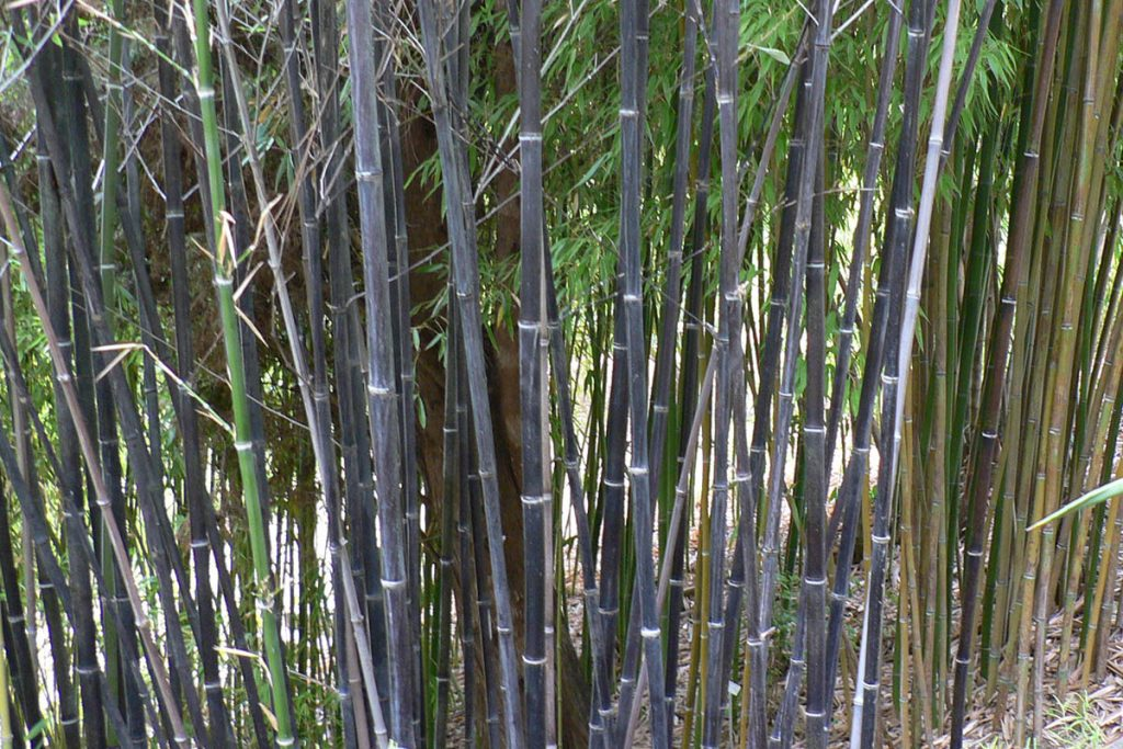 Dark, almost black, bamboo canes next to yellow-green bamboo stems