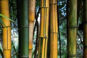 Wide yellow culms with green stripes of the Phyllostachys Vivax bamboo