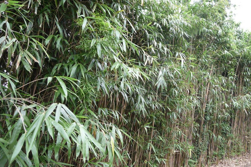 Thick hedge of arrow bamboo with large leaves
