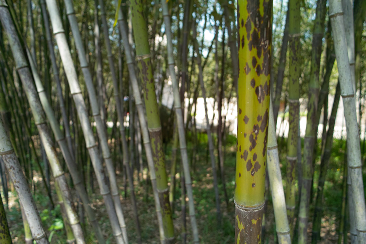 Green Tanakae Bamboo with brown spots