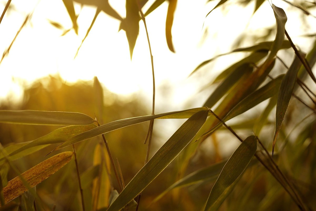 Dry, yellow bamboo leaves at sunset