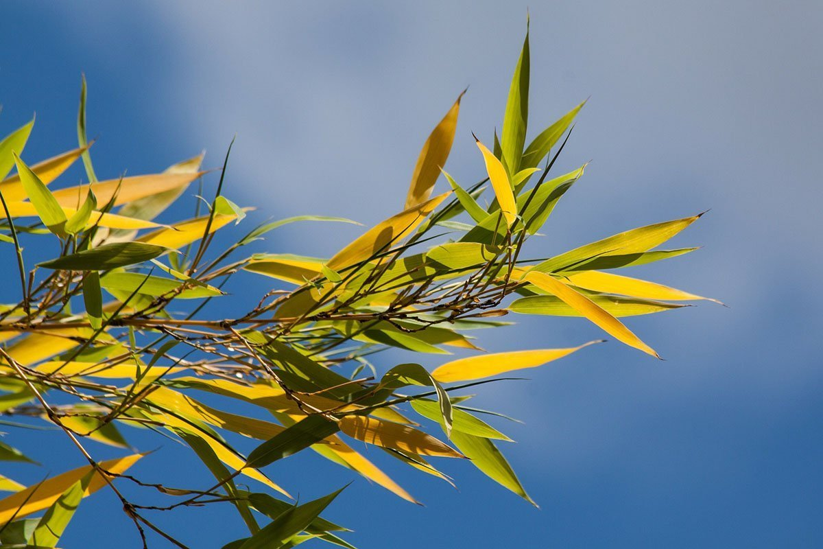 Green and yellow leaves of a bamboo plant with the sky as a background
