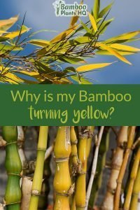 Yellow bamboo leaves and yellow bamboo culms with the text: Why is my Bamboo turning yellow?