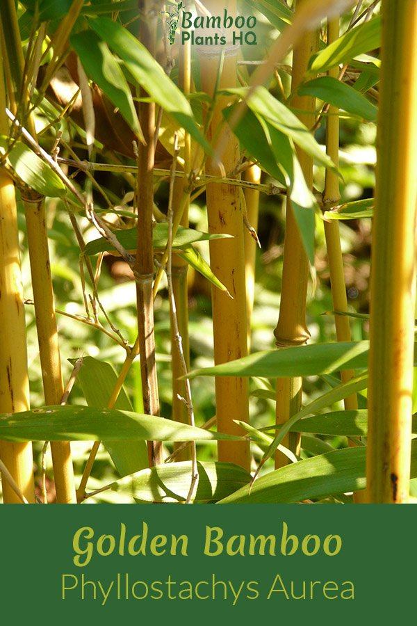 Golden bamboo is a beautiful plant for privacy screening. However, you should watch out: It is very invasive! Using a container or barriers can help with this disadvantage, though. Learn more here! #bamboo #gardendesign #screening #fencing #containergarden