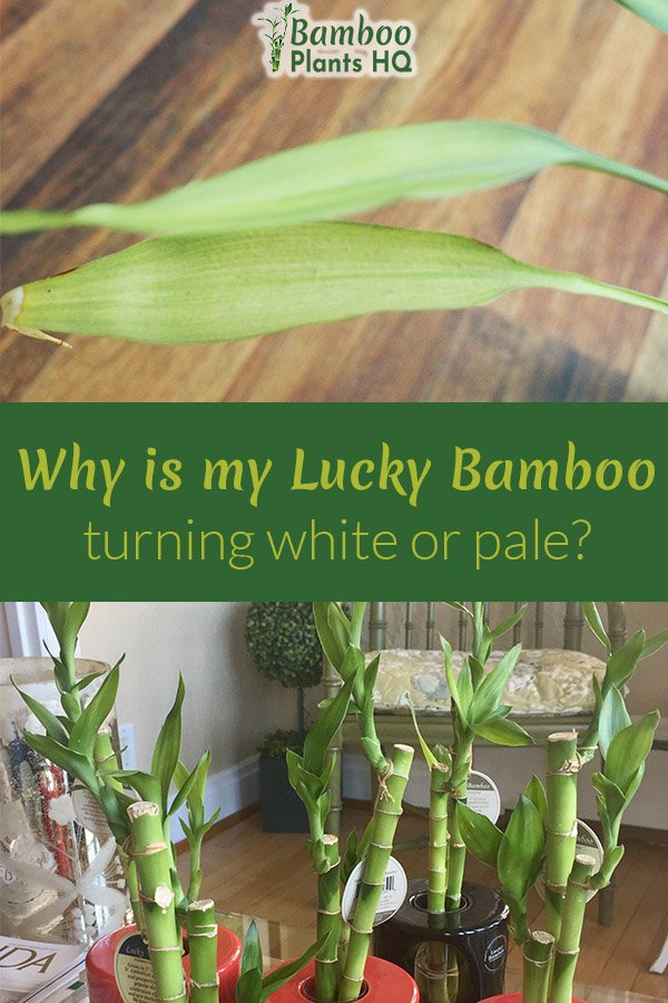 Sometimes even the best green thumb gets hit. The leaves on the Lucky Bamboo plant turn pale, and you have no clue what happened. I'll give you some reasons why the leaves turned white and how to (hopefully) revive this houseplant. #luckybamboo #housplants #indoorplants #luckybamboocare