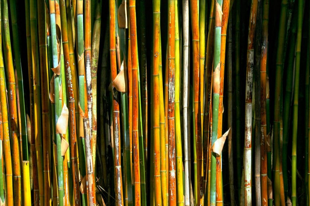 Various bamboo culms side by side, some are green and some are brown and yellow