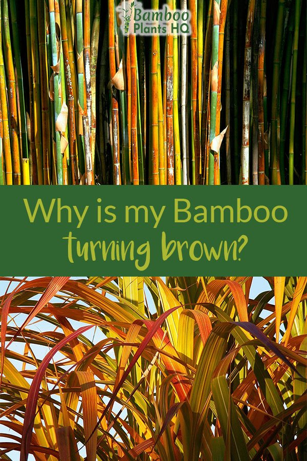 Worried about your bamboo plants? Are they turning yellow and brown? Learn what it could be here! #bamboo #gardening #plantcare #tropicalgarden