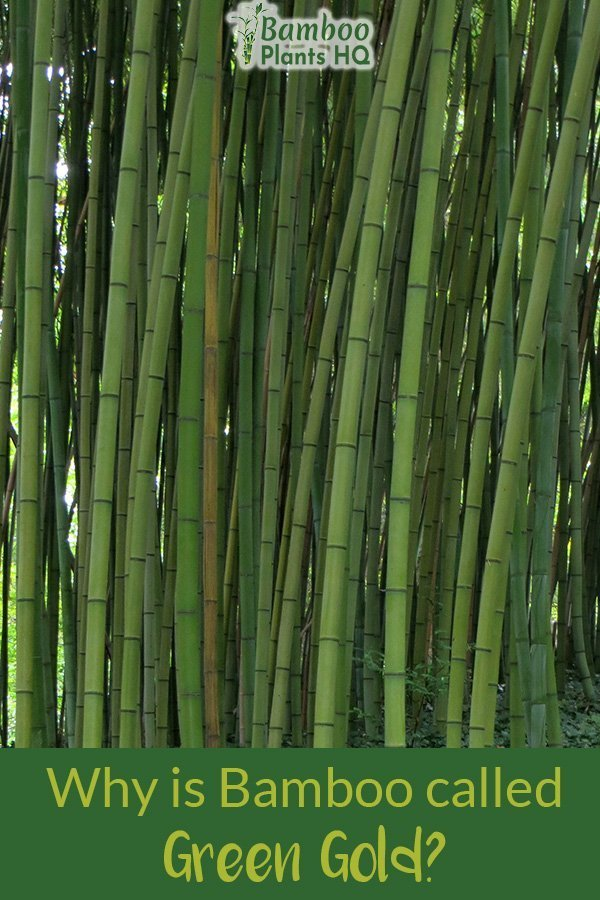 Green bamboo canes and the text: Why is bamboo called Green Gold?